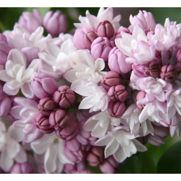 """Fantasy"" Syringa hyacintiflora"