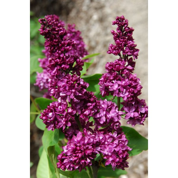 """Charles Joly"" Syringa vulgaris"
