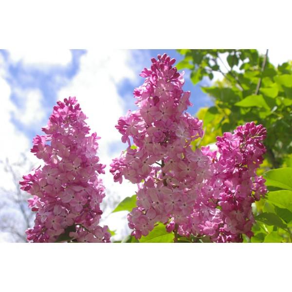 """""""Gortensiya"""" Syringa vulgaris"""